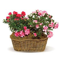 Awesome Azaleas: Send Anniversary Gifts to Toronto
