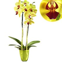 Flamboyant Orchid: Birthday Gifts Delivery in Germany