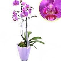 Graceful Orchid Plant: Birthday Gifts Delivery in Germany