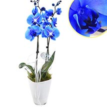 Loyal Blue Orchid: Plants to Germany