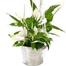 Peace Lily Bucket: Plants to Germany