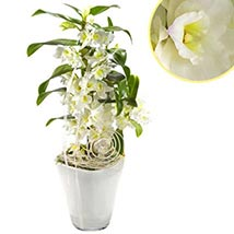 Spotless White Orchid: Plants