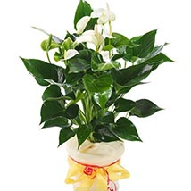 White Anthurium Pot: Plants to Germany