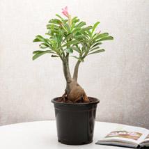Adenium Desert Rose: Plants