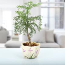 Araucaria Bonsai Plant: Plants