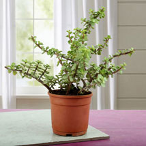Beautiful Jade Plant: Gifts for Anniversary