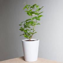 Beautiful Jasmine Plant: Plants