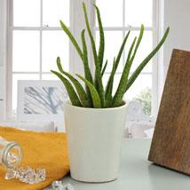 Beauty Of Aloe Vera Plant: Plants Delivery