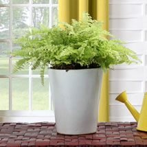 Boston Fern Potted Plant: Plants Delivery