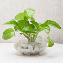 Divine Money Plant Terrarium: Plants