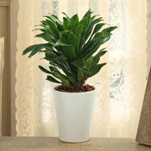 Dracaena Compacta Plant: Plants Delivery