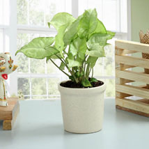 Elegant Syngonium Plant: Plants Delivery