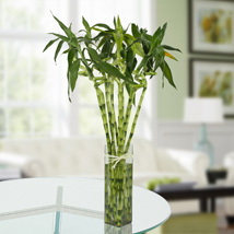 Eleven Spiral Bamboo Plant: Premium Gifts