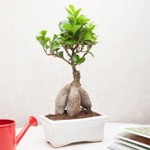 Exotic Ficus Bonsai Plant: Birthday Gifts