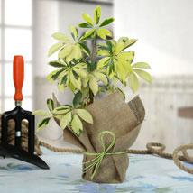 Eye Catching Schefflera Plant: Same Day Delivery Gifts