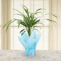 Fabulous Areca Palm: Plants