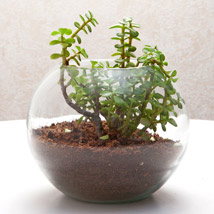Jade plant in a round glass vase