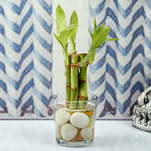 Find Luck With Bamboo plant: Delhi gifts