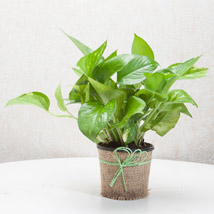 Gift Money Plant for Prosperity: Delhi gifts
