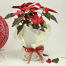 Gorgeous Poinsettia Plant: Plants