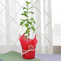 Holy Tulsi Plant: Plants Delivery