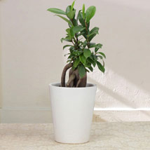 Keepsake Ficus: Plants Delivery