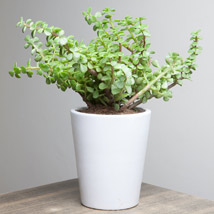 Lively Jade Plant: Gifts for Anniversary