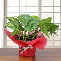 Lovely Money Plant: Plants Delivery