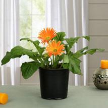 Orange Gerbera Plant: Plants