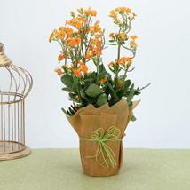 Orange Kalanchoe Plant: Plants Delivery