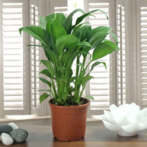 Peace Lily Plant: Anniversary Gifts