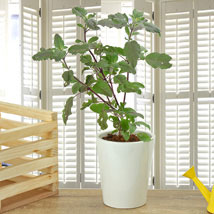 Potted Basil Plant: Plants Delivery