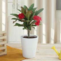 Potted Euphorbia Cactus Plant: Plants