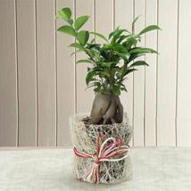 Potted Ficus Bonsai Plant: Plants Delivery
