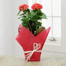 Potted Ixora Plant: Plants