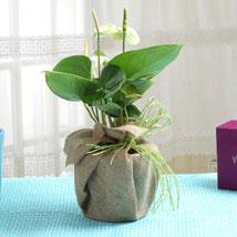 Pretty Anthurium: Plants