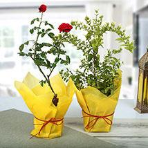 Rose N Jasmine Plant: Plants Delivery