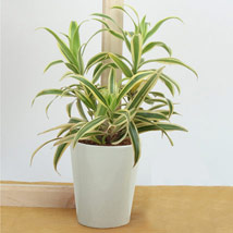 Song Of India Air Purifying Plant: Plants