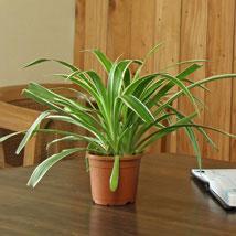 Spider Plant: Plants