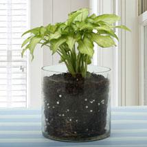 Syngonium Gold Allusion Plant Terrarium: Plants