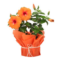Tropical Hibiscus Plant: Birthday Gifts