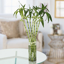 Twisted Lucky Bamboo Plant: Premium Gifts