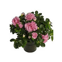 Azalea Plant: Easter Gifts to UAE