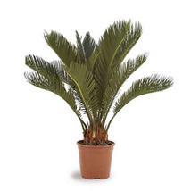 Cycas Plant: Christmas Gifts for Kids to UAE