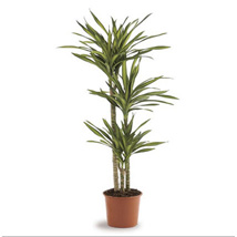 Dracaena Rikki: Easter Gifts to UAE