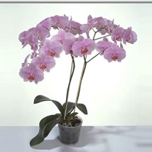 Pink Phalaenopsis Orchid Plant: Send Gifts to Sharjah
