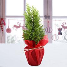 Red Christmas Tree: Buy Plants in Dubai, UAE