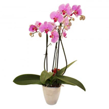 Elegant Orchid: Gifts for Friend to UK