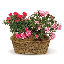 Awesome Azaleas: Send Flowers to Irvine