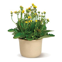 Charming Kalanchoe: Gifts to San Francisco